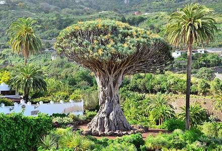 Тенерифе: драконовое дерево