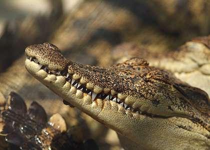 Посмотреть крокодиловую ферму в Паттайе