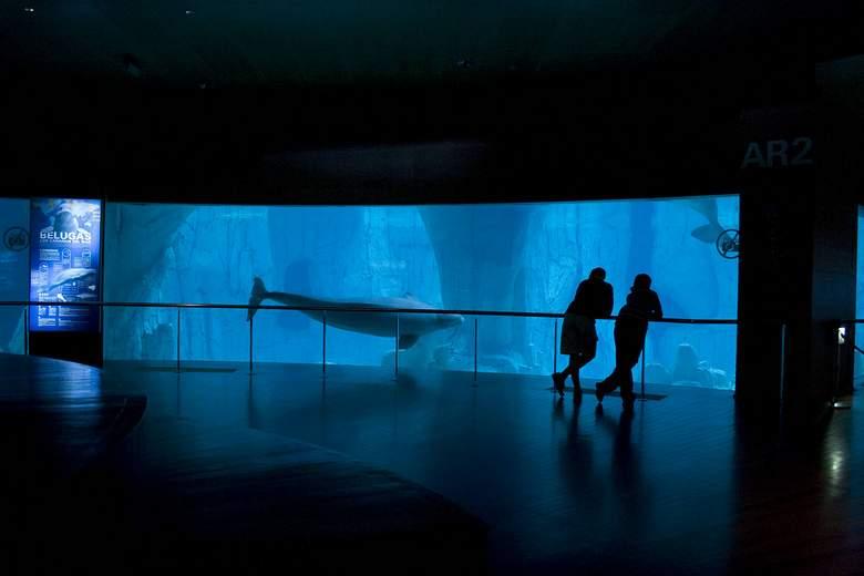 oceanografic valencia beluga
